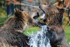 grizzly-Bears