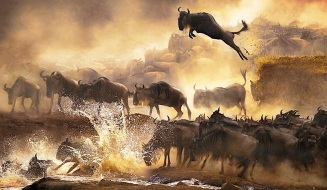 wildebeest-migration