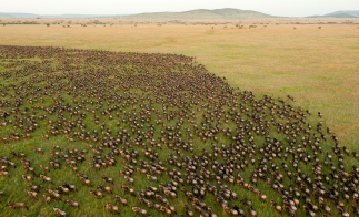 Wildebeest_Migration_in_Serengeti_National_Park_Tanzania