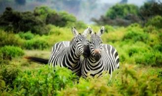 Zebra-Migration